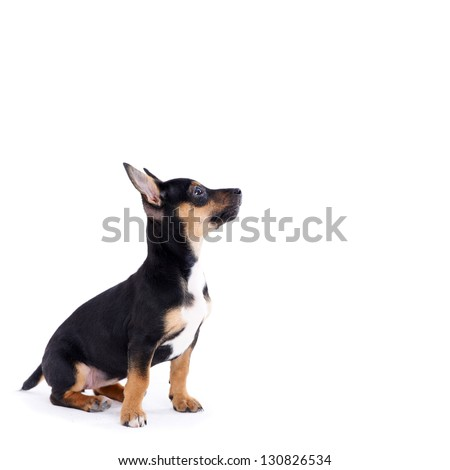 Young black coat puppy dog isolated on white background is looking up - stock photo