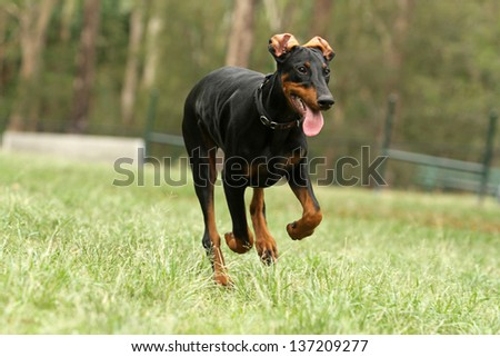 Young black doberman dog running on the green grass with tree in background