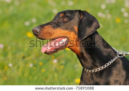 young black doberman dog  woman on the green grass portrait Dobermann - stock photo