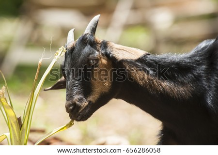 Young, black, female goat eating tall grass in the sunshine