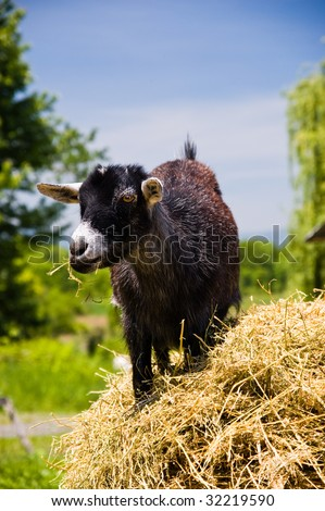 Young Black Goat chewing hay - stock photo