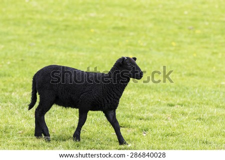 Young black horned lamb walking to the right - stock photo