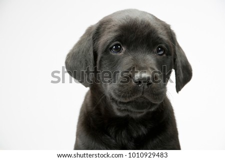 Young black labrador puppy looking at the camera