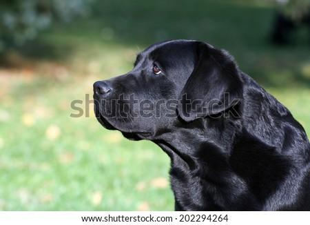 Young black Labrador Retriever male looking - stock photo