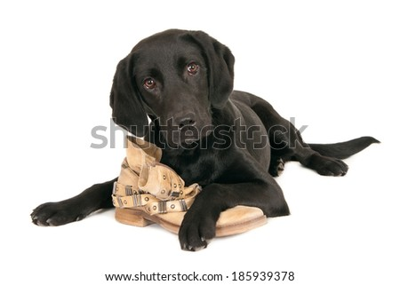 Young black labrador retriever playing with a shoe, isolated on white - stock photo