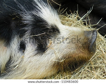 Young black  pig taking a nap