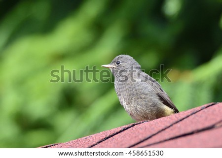 Young Black Redstart  - stock photo