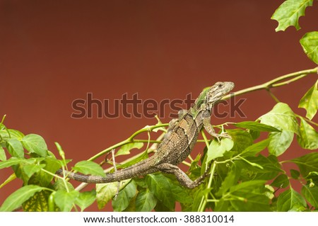 Young black spiny-tailed iguana as he is changing color - stock photo