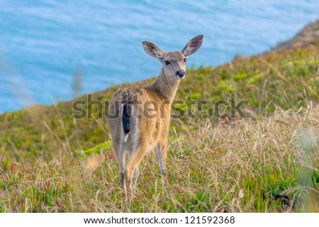 Young black-tailed deer looking at the camera