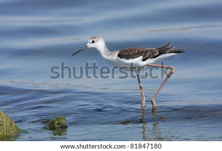 young black winged stilt (Himantopus himantopus) - stock photo