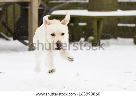 Young blond labrador running through snow