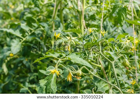 Young blossoming tomatoes with small fruits. Growing. Yellow flowers. Vegetable garden.  Household plot. Dacha. - stock photo
