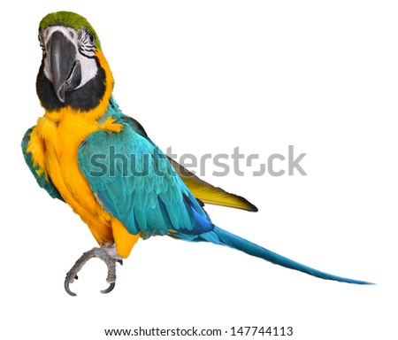 Young Blue and Gold Macaw isolated on white background