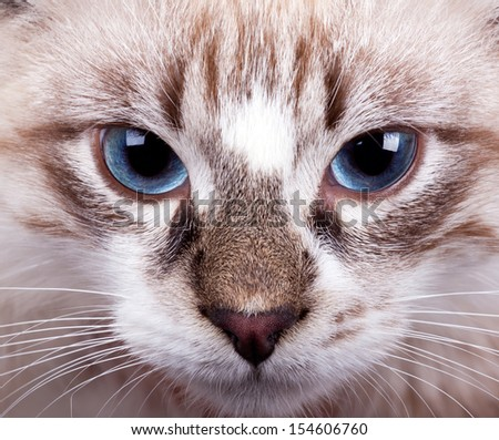 young blue-eyed cat close up..Neva Masquerade cat - stock photo