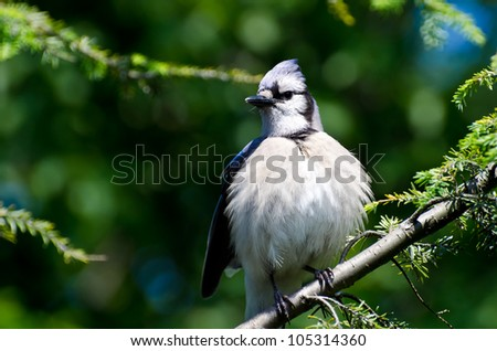 Young Blue Jay All Puffed Up - stock photo