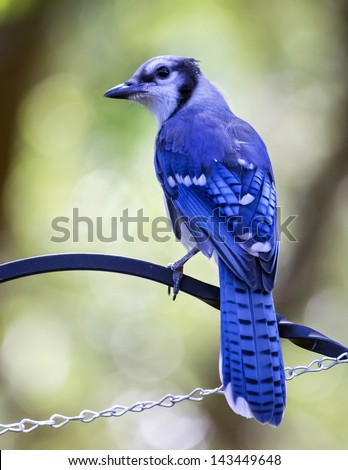 Young Blue jay bird on feeder - stock photo