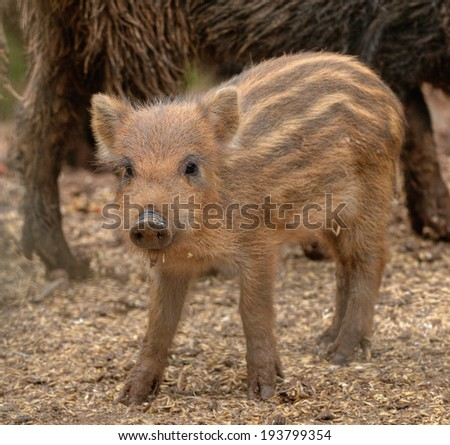 young boar looks - stock photo