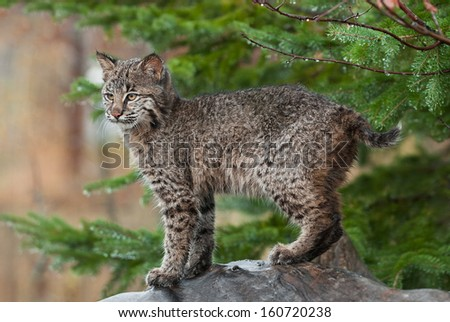Young Bobcat (Lynx rufus) Stands Defiant - stock photo