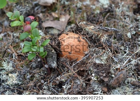 Young boletus mushroom (Leccinum aurantiacum) grows through coniferous forest floor next to a bush cranberries