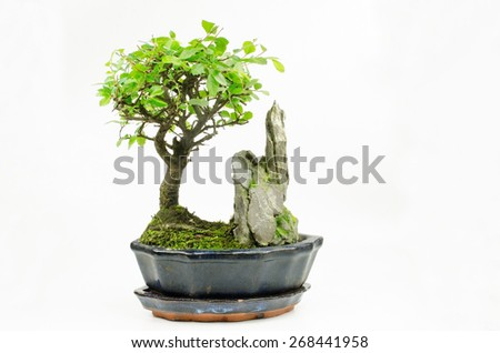 young bonsai, chinese elm (left) - stock photo