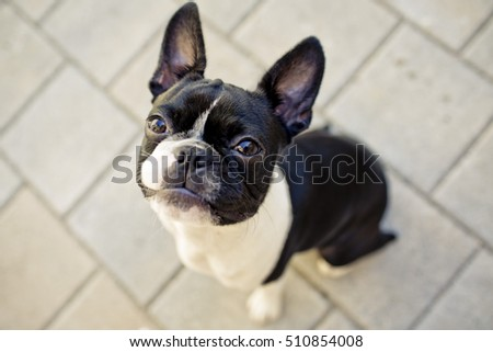 Young Boston terrier making a grumpy face and looking up into the camera