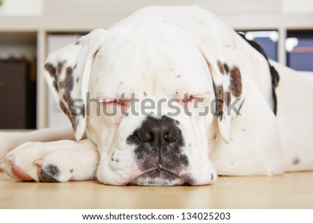 Young boxer dog sleeping with his eyes closed