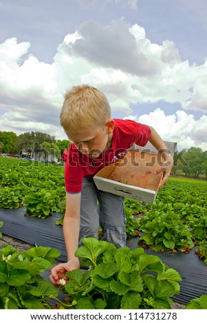 Young boy holding a cardboard box and picking strawberries on a field - stock photo