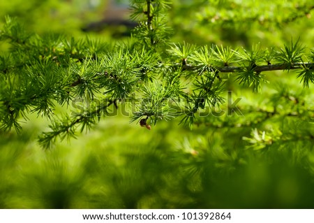 Young branch in spring from European Larch (Larix decidua). Nice fresh colors. - stock photo