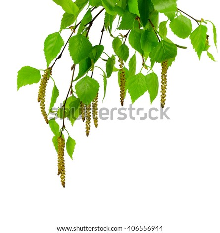 young branch of birch with buds and leaves ,  isolated on a white background without shadow. Spring time. Spring blossoms tree birch with young green leaves. - stock photo