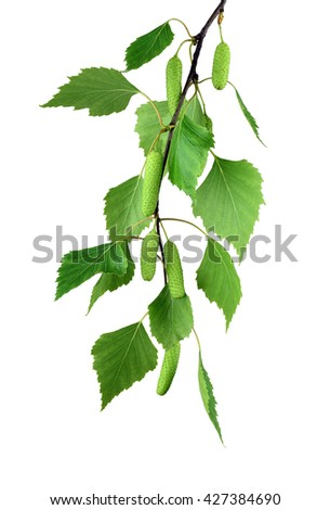 young branch of birch with buds and leaves ,  isolated on a white background without shadow. Spring season. - stock photo