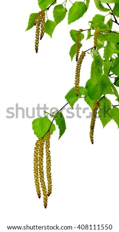 young branch of birch with buds and leaves ,  isolated on a white background without shadow. The awakening of nature. - stock photo