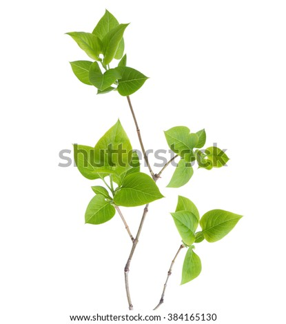 Young branch of lilac (Syringa vulgaris) isolated on white - stock photo