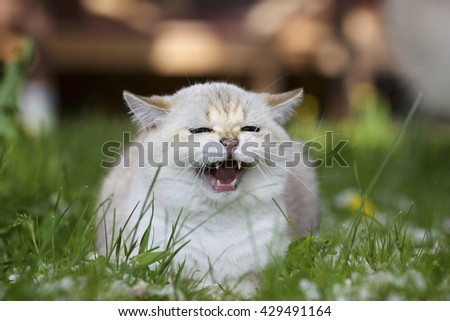 Young British cat sits in the grass and meows - stock photo