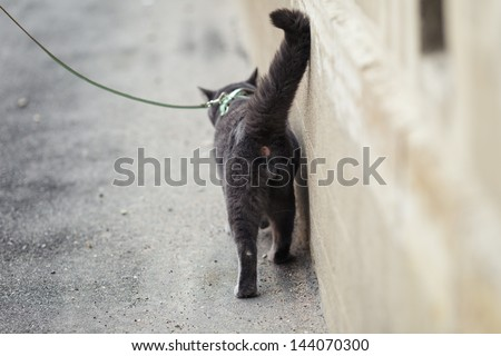 young british cat walking away, shallow depth of field - stock photo