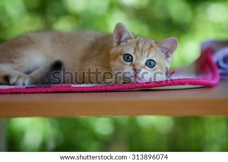 Young British kitten lying on a table outdoors