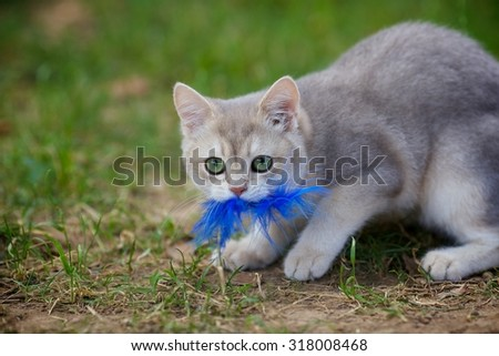 Young British kitten playing with a feather - stock photo