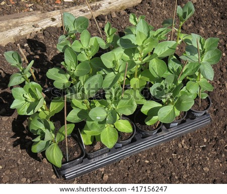 Young Broad Bean Plants (Vicia faba) on an Allotment in Devon, England, UK