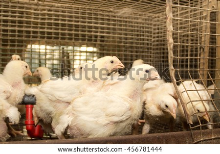 Young broiler chickens at the poultry farm - stock photo