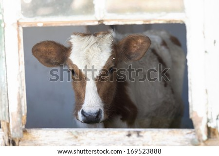 Young brown and white cow inside an old derelict building