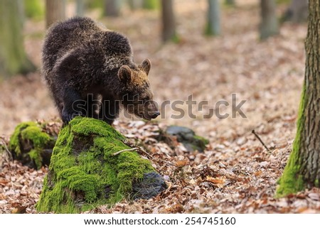 young brown bear on the stone - stock photo