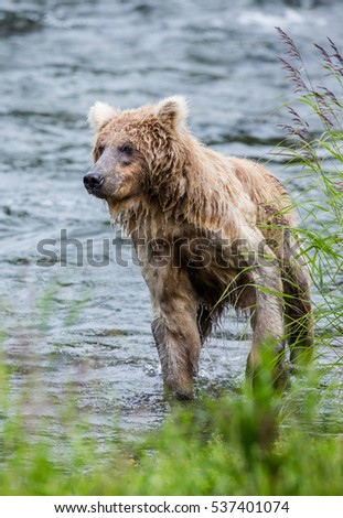 Young brown bear standing in the river. USA. Alaska. Katmai National Park. An excellent illustration.