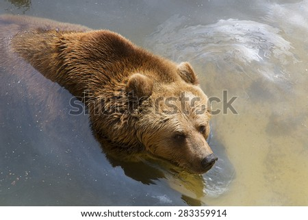 Young brown bear swimming in the water