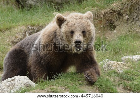 Young Brown bear (Ursus arctos) in a park in the North of Sweden.