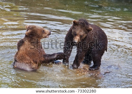 Young Brown Bears (Ursus arctos) fighting in the water