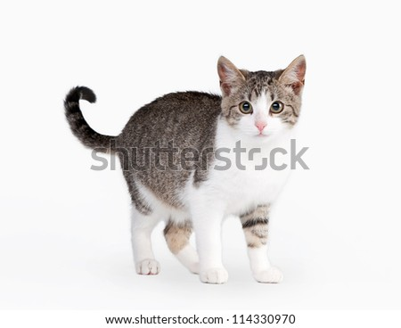 young brown bicolor domestic cat on white background - stock photo