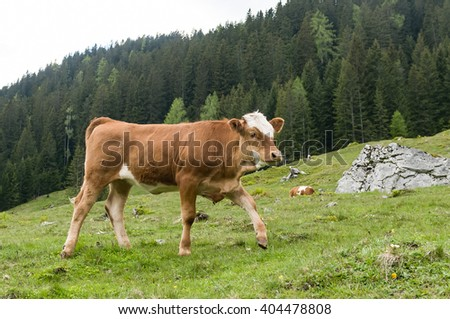 Young brown cow walking and grazing fresh grass in the alpine mountain pasture - stock photo