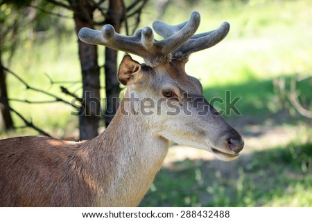 Young brown deer with beautiful antlers standing in profile in forest with green grass on natural background, horizontal picture  - stock photo