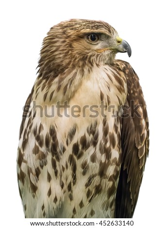 Young brown eagle on white background.