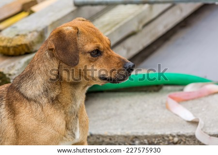 young brown female dog watching her owner