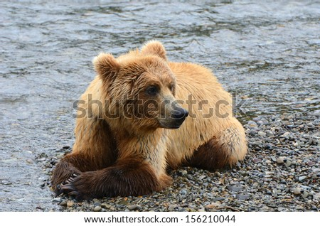 Young Brown Grizzly Bear in Alaska laying down for a rest - stock photo